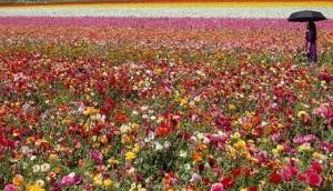 flowerfieldmay2013